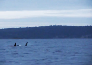 whale watching on Whidbey and Orca Network